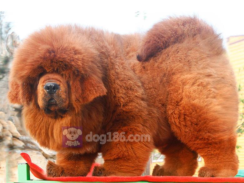 冠军品质的传承!高品质纯种纽芬兰幼犬 保证纯种健康品质7