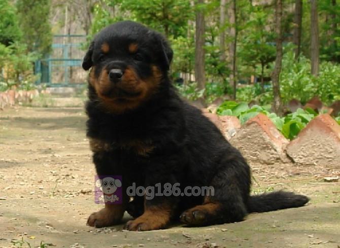 冠军品质双血统高品质德系罗威纳大头宽头版罗威纳幼犬