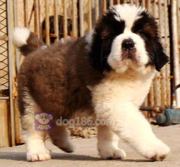 冠军双血统高品质温顺友善的精品纯种圣伯纳幼犬出售