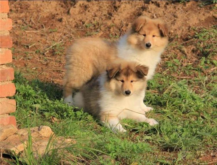 专业繁殖纯种健康的双血统苏格兰牧羊幼犬 冠军品质的传承!10