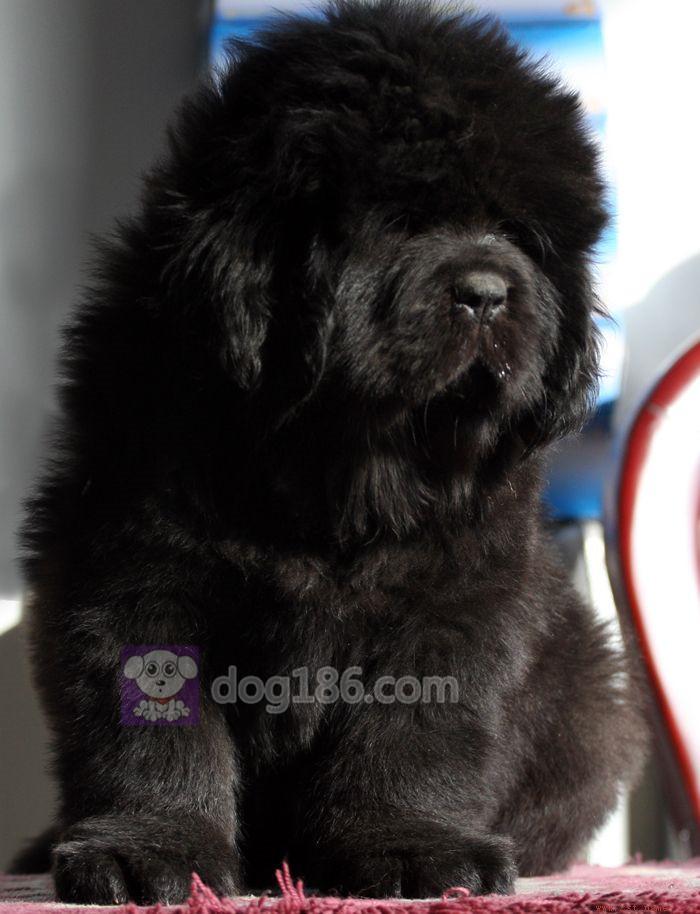 冠军品质的传承!高品质纯种纽芬兰幼犬 保证纯种健康品质4