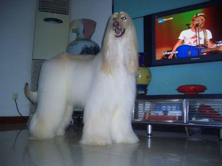 纯种大型长毛阿富汗猎犬活体幼犬正宗阿富汗巨型纯种北京出售