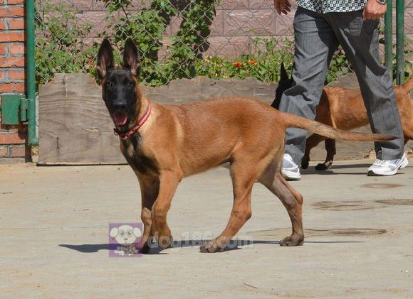 冠军品质的传承!昆明犬双血统带血统证书终身免费售后签合同