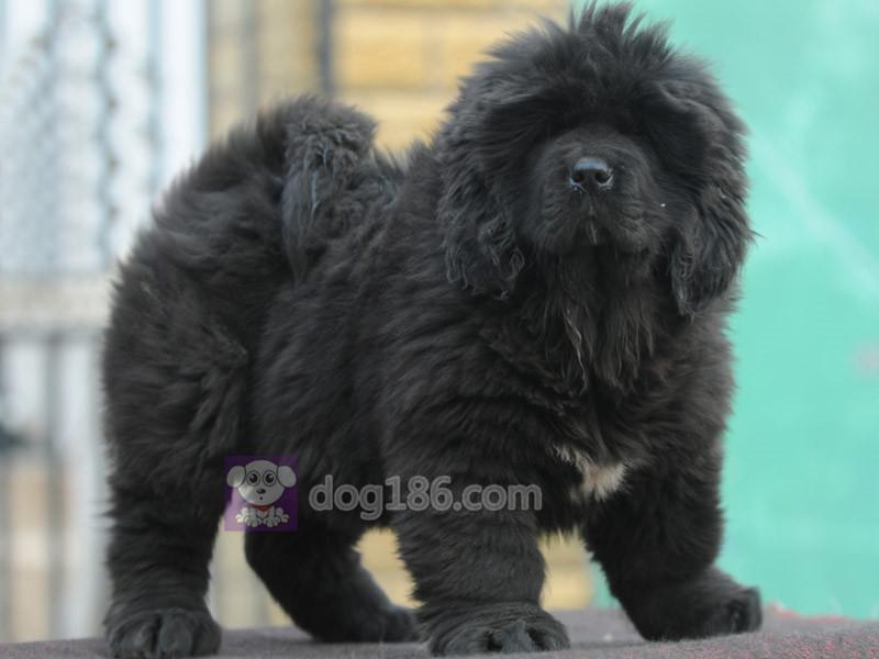 冠军品质的传承!高品质纯种纽芬兰幼犬 保证纯种健康品质12
