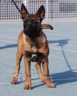 冠军品质的传承!昆明犬双血统带血统证书终身免费售后签合同7
