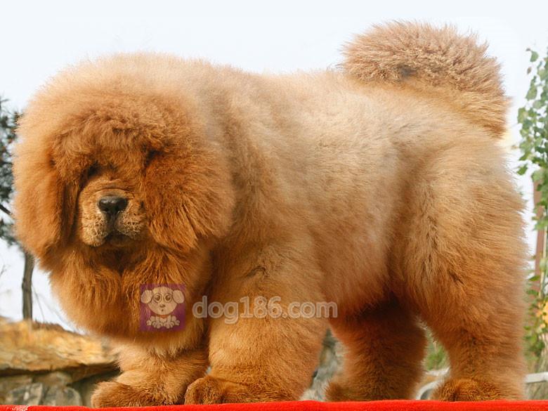 冠军品质的传承!高品质纯种纽芬兰幼犬 保证纯种健康品质10