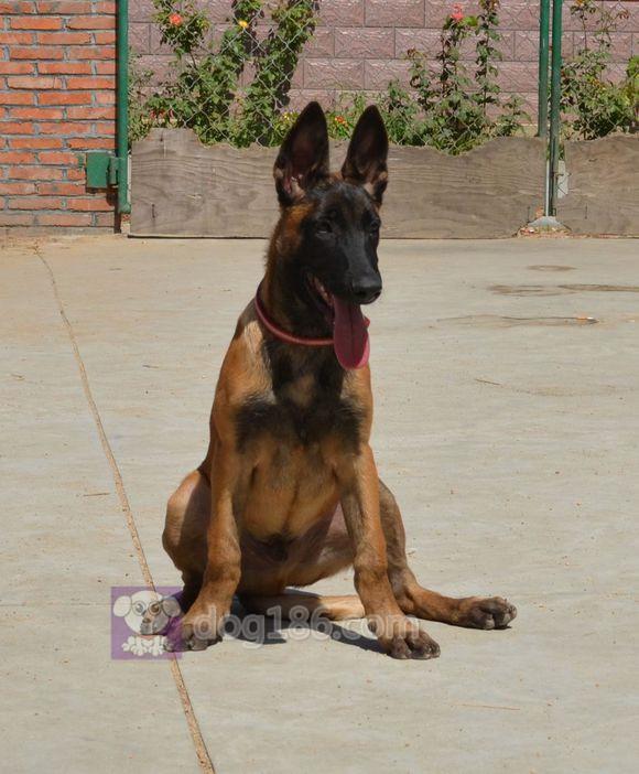 冠军品质的传承!昆明犬双血统带血统证书终身免费售后签合同4