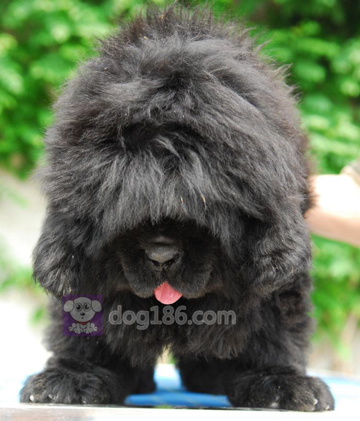 冠军品质的传承!高品质纯种纽芬兰幼犬 保证纯种健康品质6