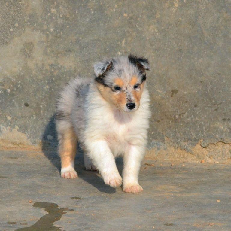 专业繁殖纯种健康的双血统苏格兰牧羊幼犬 冠军品质的传承!12
