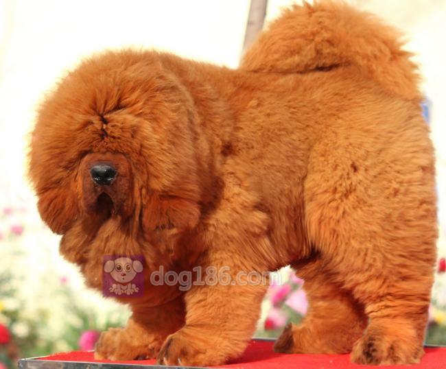 冠军品质的传承!高品质纯种纽芬兰幼犬 保证纯种健康品质8