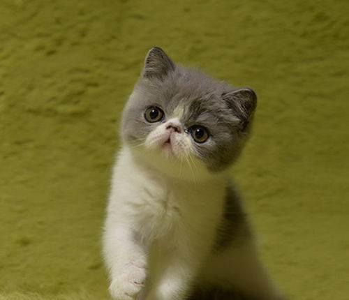 惠州哪里有加菲猫出售 甜美可爱温顺粘人