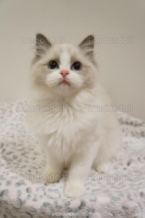 自家繁殖布偶猫纯种健康东莞哪里有卖布偶猫