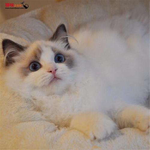 正规CFA认证猫舍深圳哪里有卖布偶猫,布偶猫多少钱