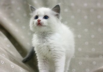 CFA认证星级布偶猫舍佛山哪里有卖布偶猫