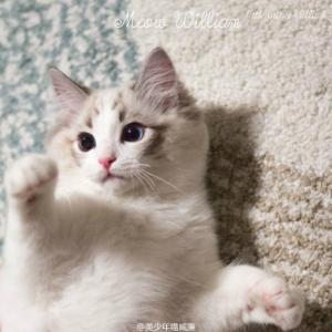 东莞哪里有卖布偶猫,多少钱可以买