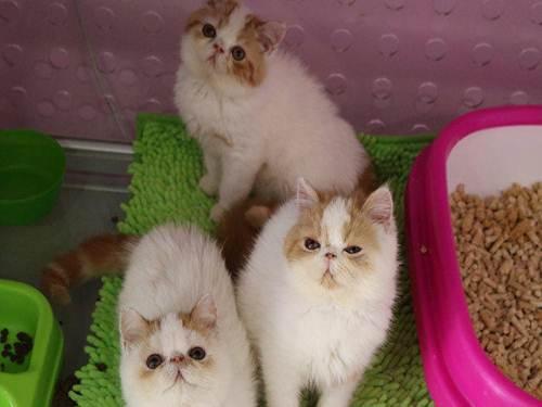 惠州哪里有卖加菲猫,这种加菲猫什么颜色好看漂亮