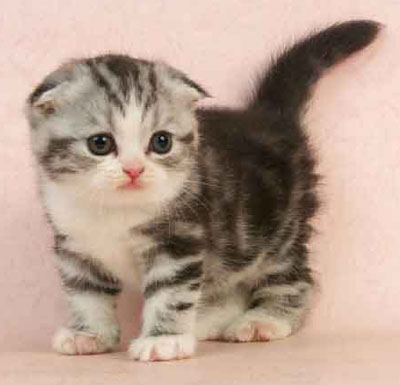 佛山哪里有折耳猫卖 什么地方有卖折耳猫