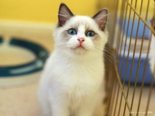 深圳哪里有卖布偶猫的 深圳布偶猫怎么卖