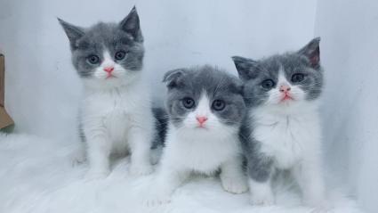 英短蓝白幼猫,包健康惠州哪里有卖蓝白