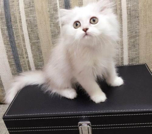 惠州哪里有卖金吉拉,这种长毛猫什么颜色好看漂亮