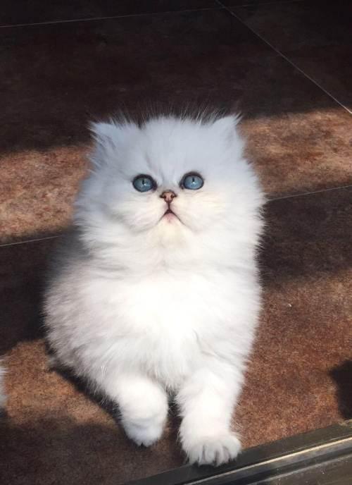 东莞哪里有纯种金吉拉猫出售金吉拉猫多少钱一只