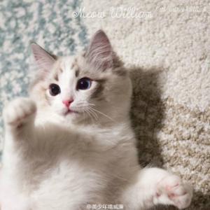 东莞哪里有卖布偶猫? 布偶猫多少钱一只?