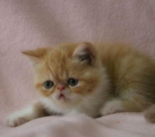 佛山哪里有卖加菲猫 纯种加菲猫自家猫舍繁殖