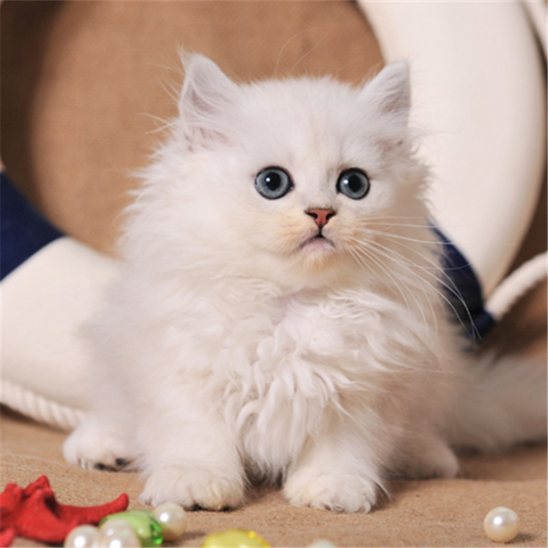 金吉拉价格惠州哪里有卖仙女猫金吉拉 幼猫