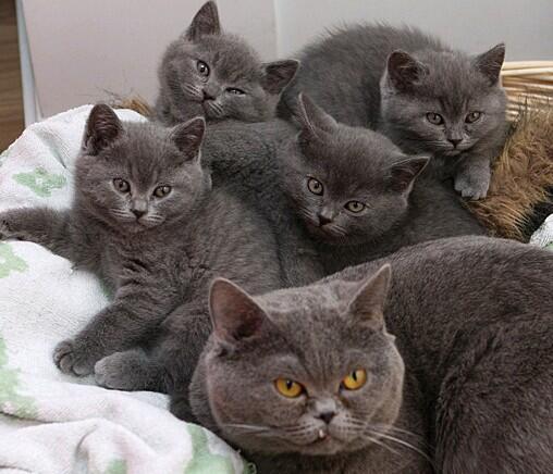 大眼包子脸英短蓝猫中山哪里有卖蓝猫多少钱