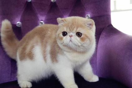 佛山哪里有卖加菲猫 纯种加菲猫一只大概多少
