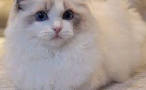 广州一般去什么地方买猫 广州哪里有卖布偶猫