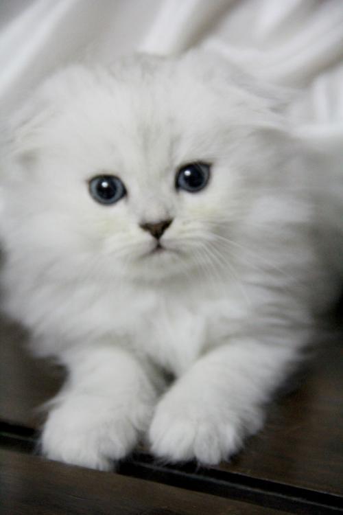 广州哪里有纯种折耳猫出售 折耳猫性格温顺吗