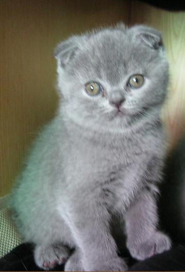 自家繁殖的蓝猫好中山哪里有卖蓝猫 价格优惠的