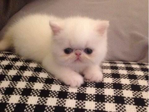 广州哪里有卖异国短毛猫宠物猫纯种加菲猫广州哪里有卖