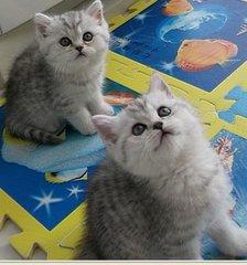 宠物猫银渐层 深圳银渐层多少钱深圳哪里有卖银渐层猫