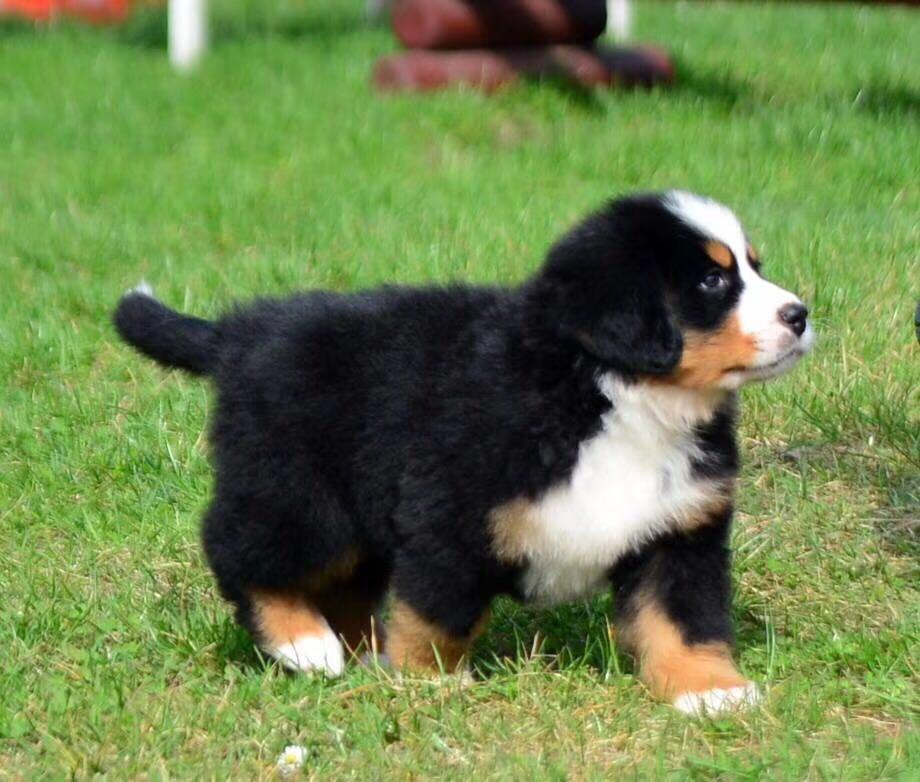 高端大气上档次 完美的伯恩山幼犬 可遇不可求5
