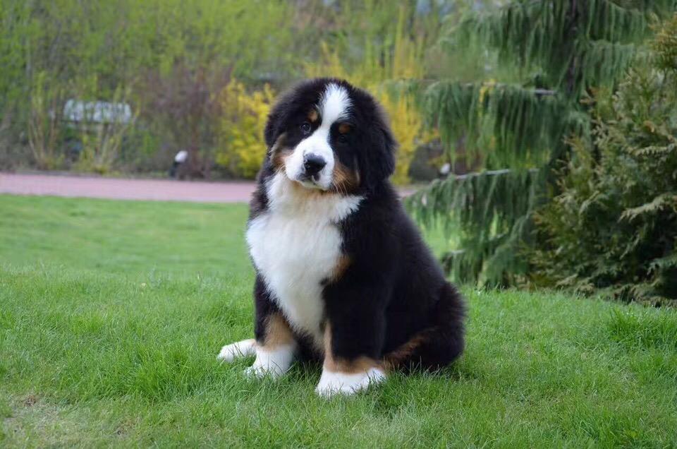 高端大气上档次 完美的伯恩山幼犬 可遇不可求10