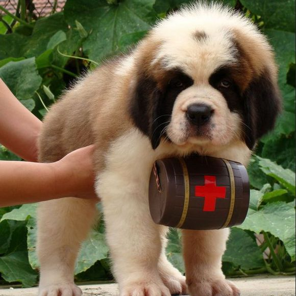 忠实温顺圣伯纳犬忠于主人家庭犬最好的选择保健康1