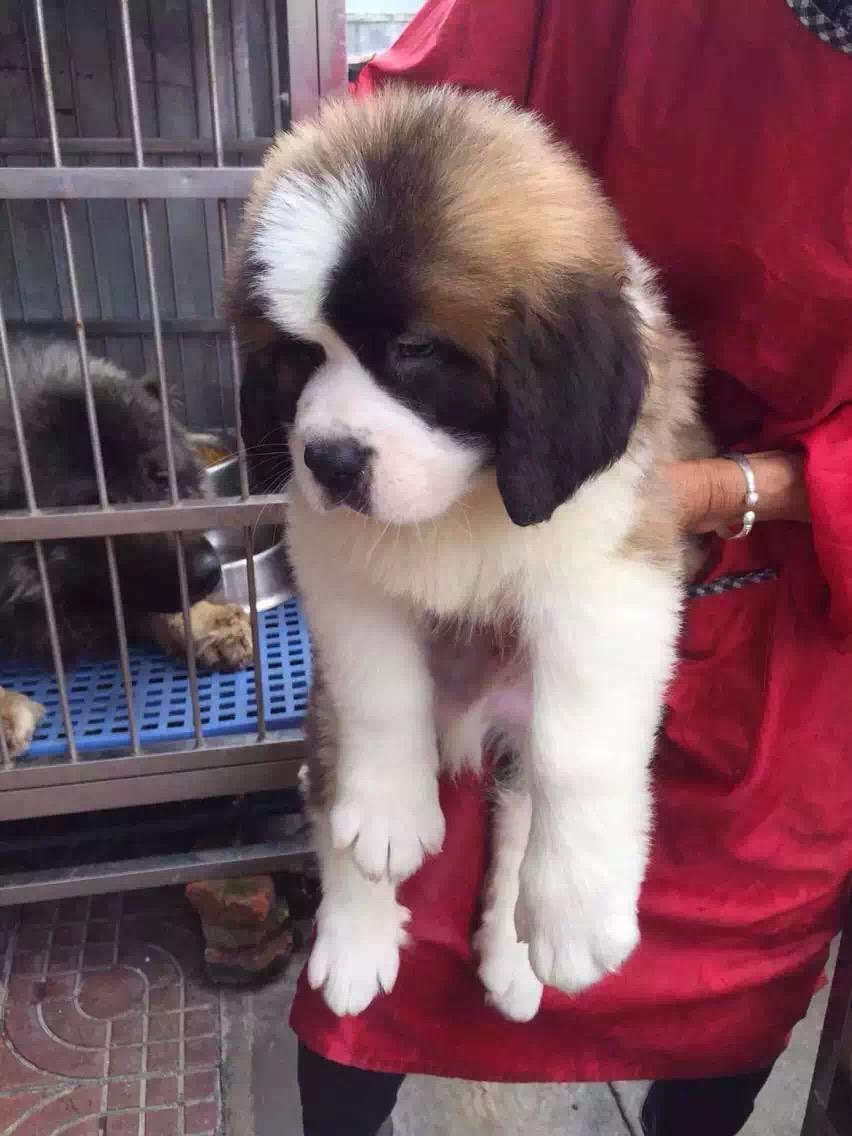 忠实温顺圣伯纳犬忠于主人家庭犬最好的选择保健康11
