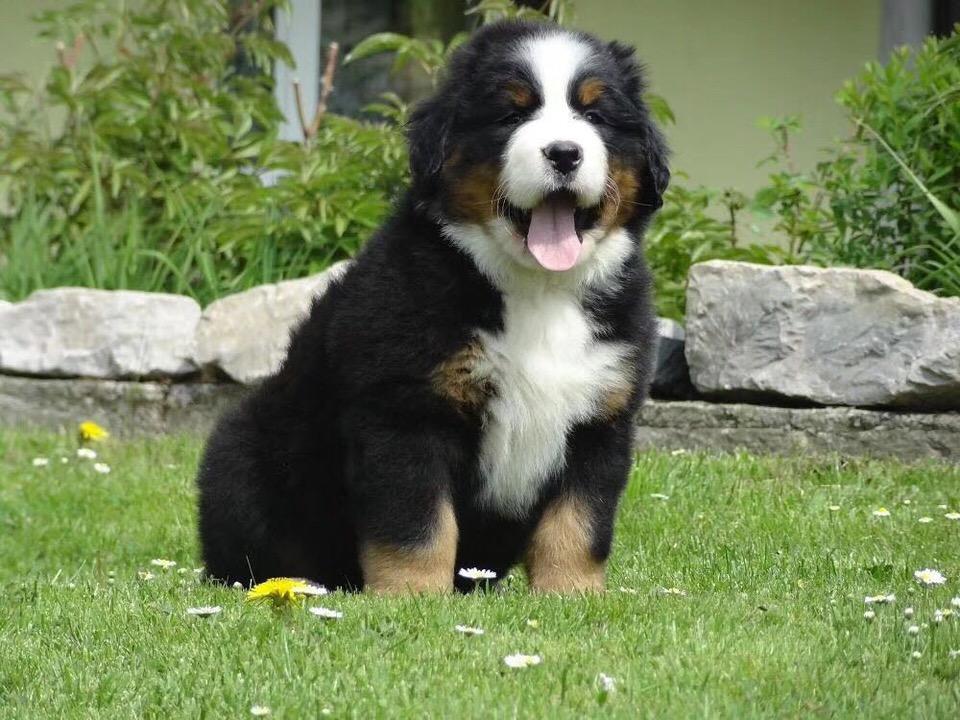 高端大气上档次 完美的伯恩山幼犬 可遇不可求12