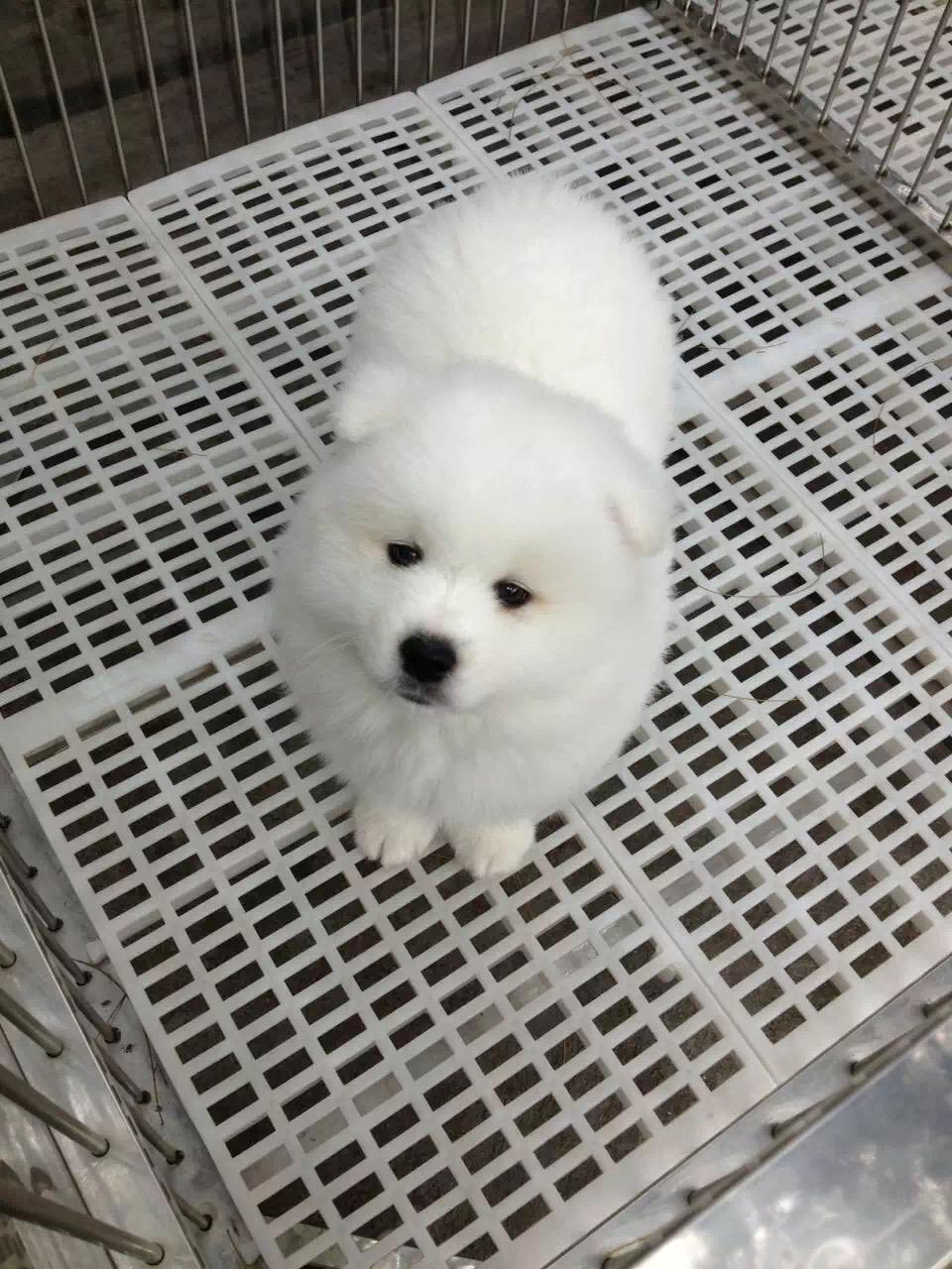 撩妹神犬萨摩幼犬 萌化少女心品相好 还等什么 ~2
