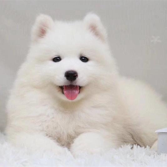 撩妹神犬萨摩幼犬 萌化少女心品相好 还等什么 ~7