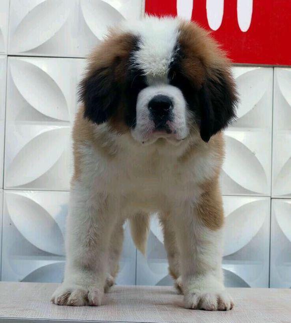 忠实温顺圣伯纳犬忠于主人家庭犬最好的选择保健康3