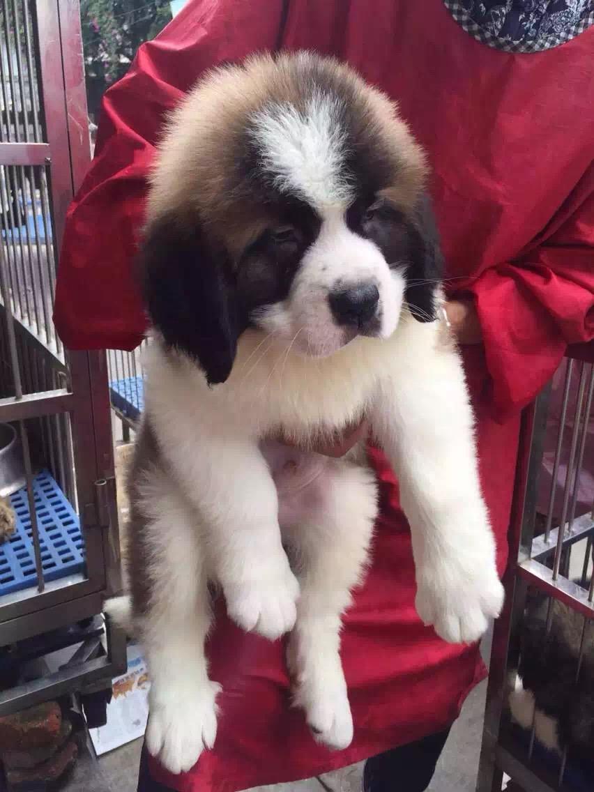 忠实温顺圣伯纳犬忠于主人家庭犬最好的选择保健康10