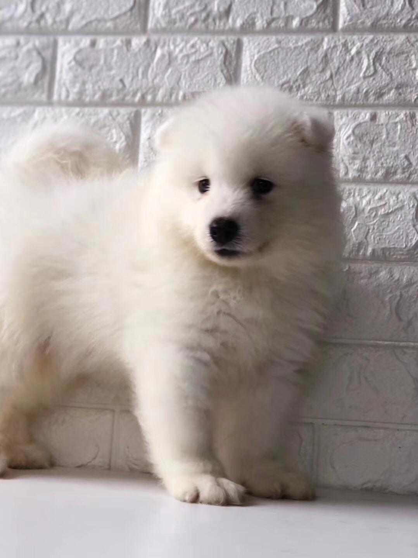 撩妹神犬萨摩幼犬 萌化少女心品相好 还等什么 ~13