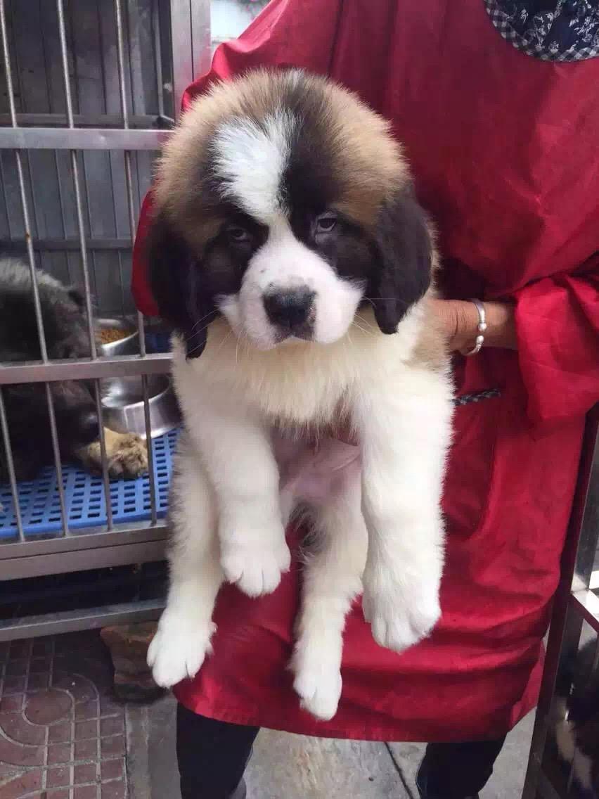 忠实温顺圣伯纳犬忠于主人家庭犬最好的选择保健康5