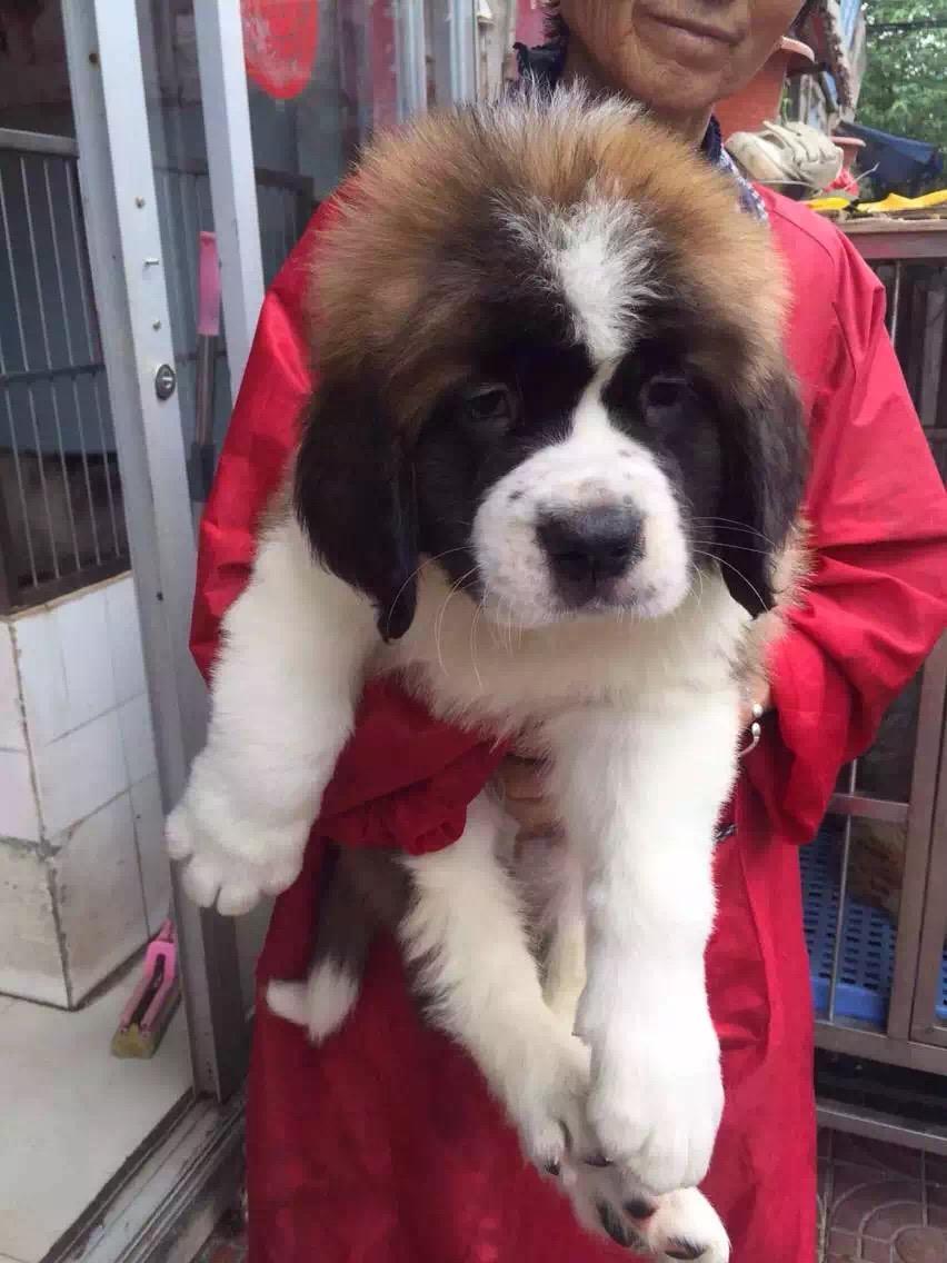 忠实温顺圣伯纳犬忠于主人家庭犬最好的选择保健康6