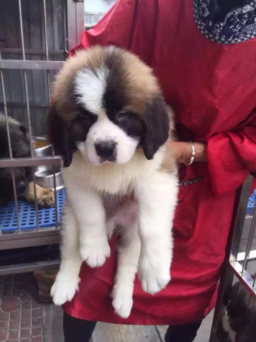 忠实温顺圣伯纳犬忠于主人家庭犬最好的选择保健康12