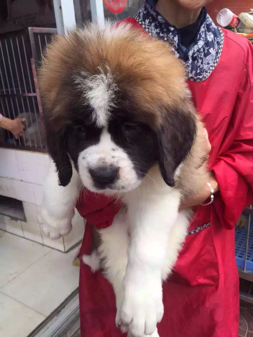 忠实温顺圣伯纳犬忠于主人家庭犬最好的选择保健康9