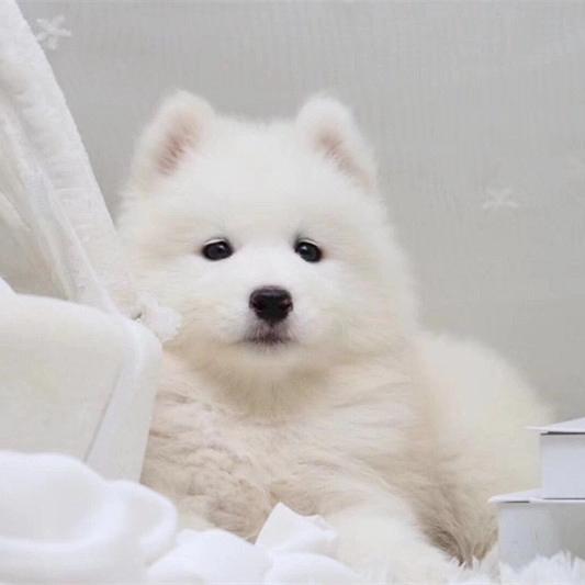 撩妹神犬萨摩幼犬 萌化少女心品相好 还等什么 ~8